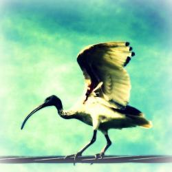 Ibis Bird Photo 5x5 Whimsical Wildlife Photography - Funny Animal Print - Bird on a Wire